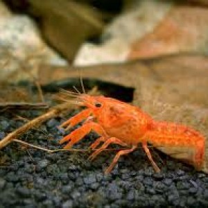 Orange-Dwarf-Lobster