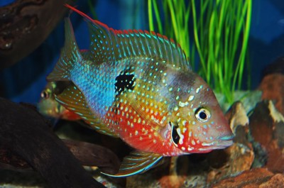 Chocolate Cichlid