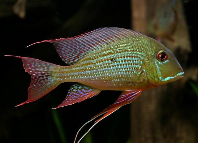 Home / Livestock / Tropical / Cichlids / Geophagus Altifrons