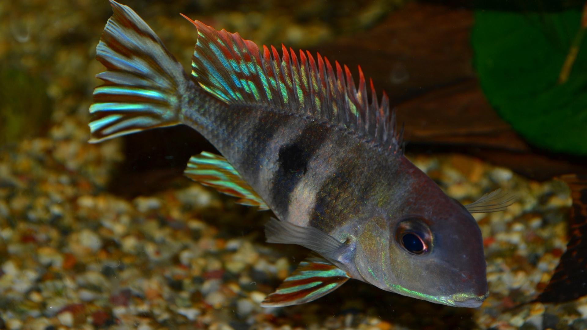 Home / Livestock / Tropical / Cichlids / Geophagus proximus