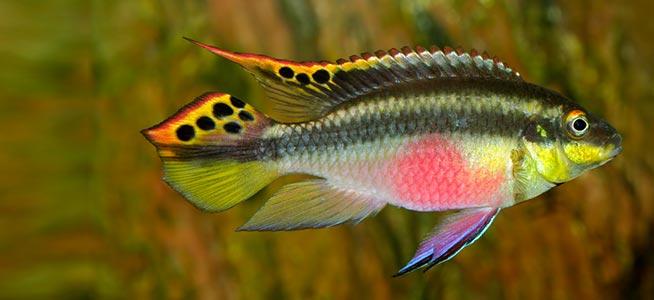 Kribensis large aquatic village for Large peaceful community fish