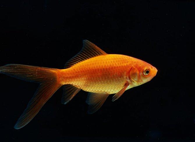 Goldfish aquatic village for Comet pond fish