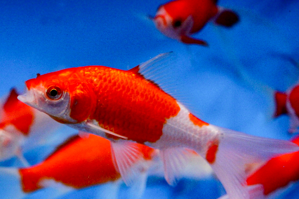 Sarasa commet goldfish 3 aquatic village for Koi vs goldfish