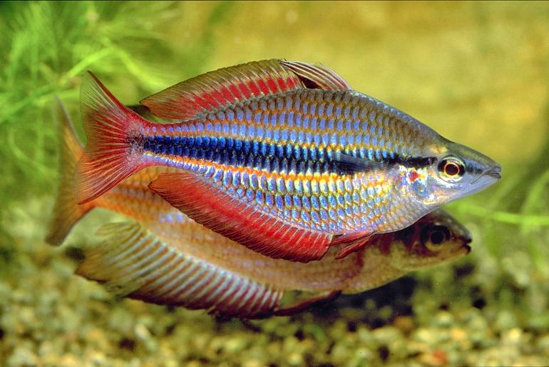 Banded Rainbowfish - Aquatic Village