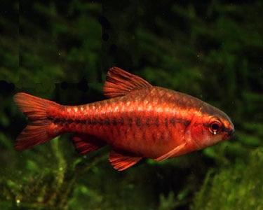Cherry barb aquatic village for Cherry barb fish
