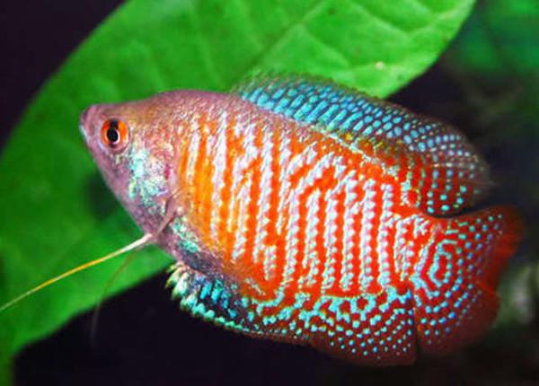 Makanan Ikan Cupang Agar Cepat Besar