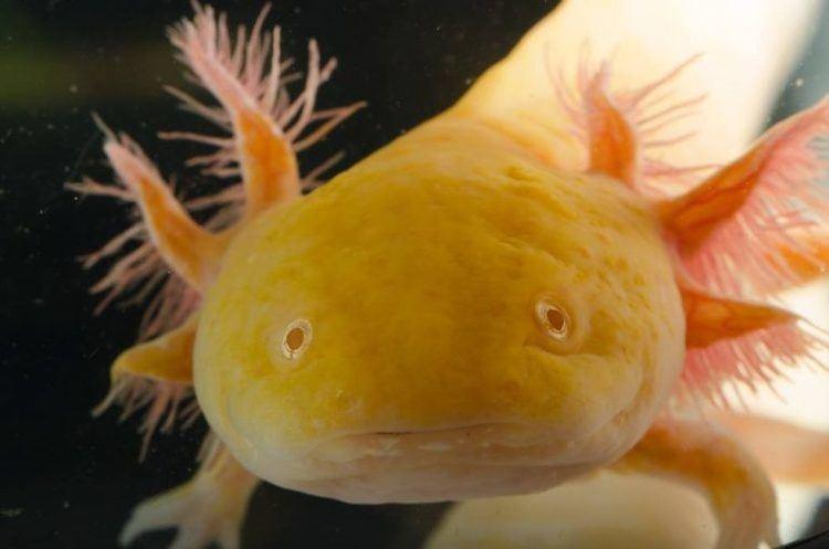Axolotl AKA Pokemon/minecraft fish + delivery